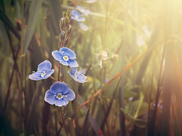 Blue forget me not flowers in meadow and sunshine stock photo
