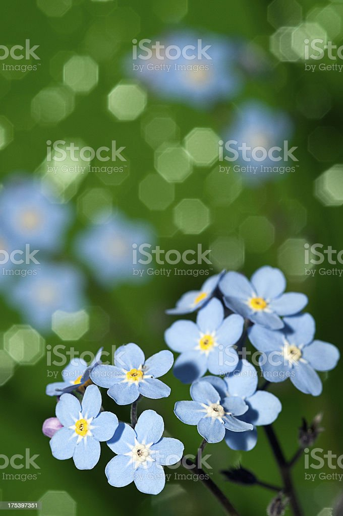 Blue Forget me not flowers on a green background royalty-free stock photo