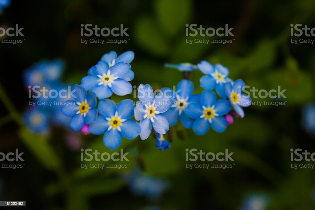Blue Forget-Me-Not Flowers Blue Forget-Me-Not flowers in Maine. 2015 Stock Photo