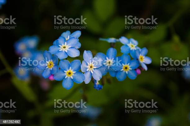 Blue Forgetmenot Flowers Stock Photo - Download Image Now