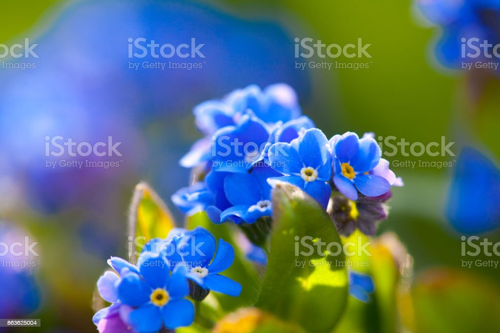Blue forget-me-not stock photo