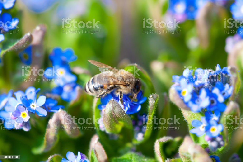 Blue forget-me-not with bee stock photo