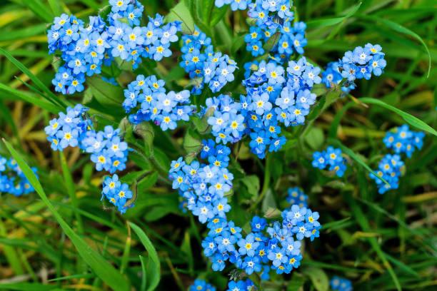 miosótis azuis na grama verde - miosótis - fotografias e filmes do acervo