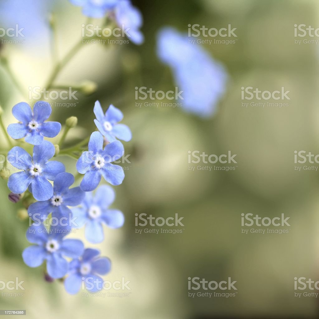 Blue Forget-Me-Nots royalty-free stock photo