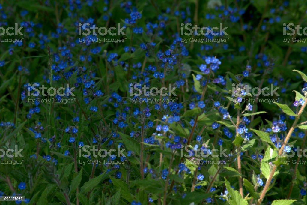 Blue-se-me que não têm - Foto de stock de Azul royalty-free