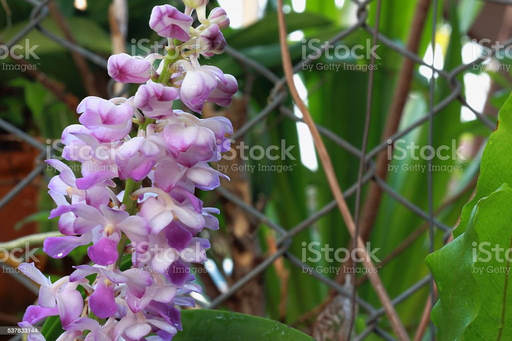 Blue foxtail orchid stock photo