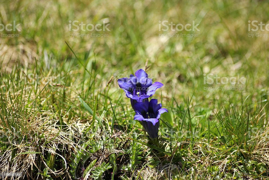 Blue Gentian Blossom, Alpine Flower royalty-free stock photo