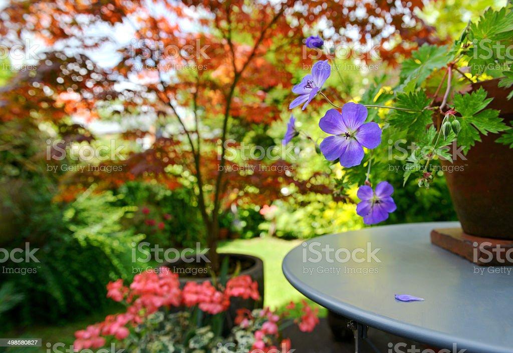 Blue Geranium stock photo