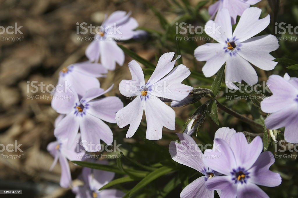 Blue geranium royalty-free stock photo