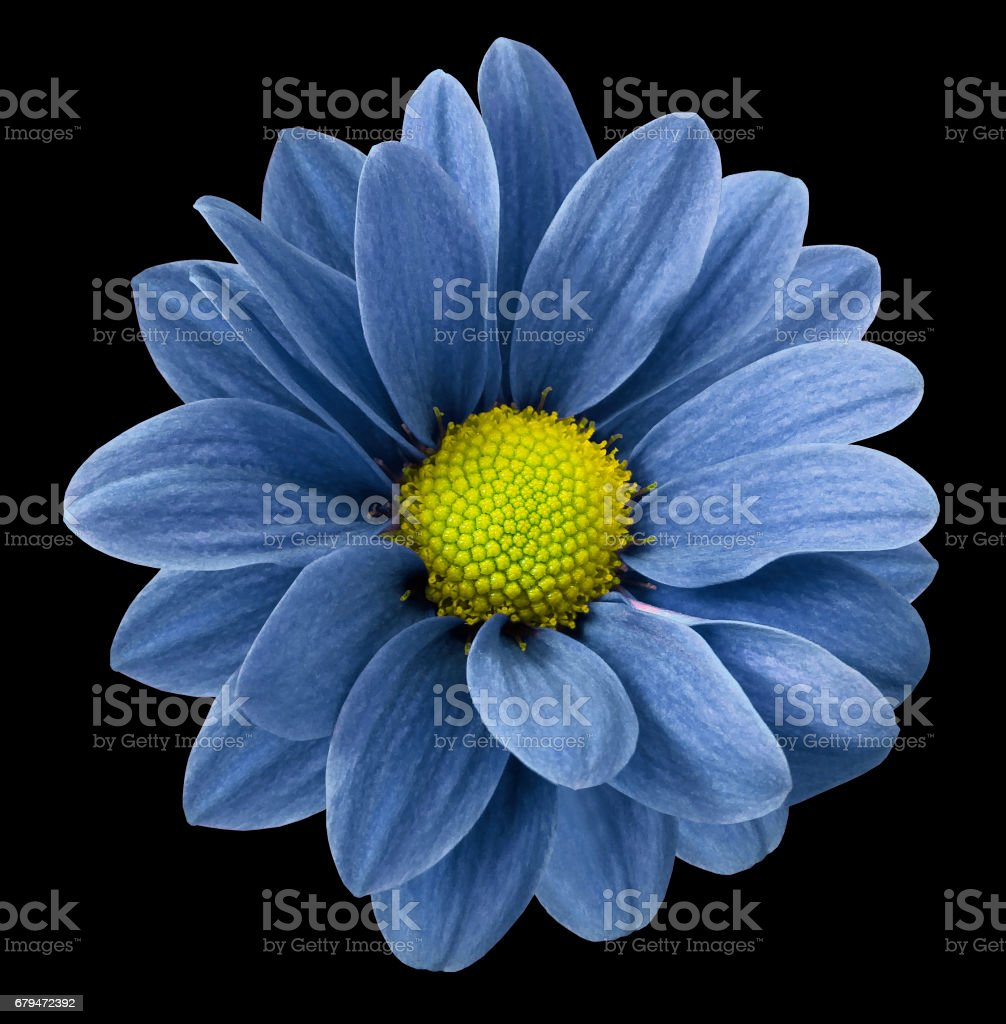Blue gerbera flower.  Black  isolated background with clipping path.   Closeup.  no shadows.  For design.  Nature. royalty-free stock photo