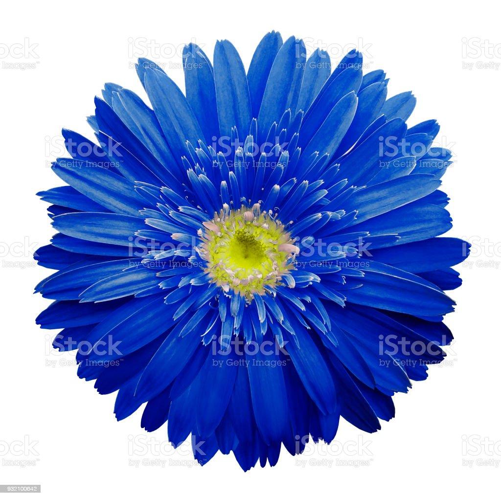 Fleur De Gerbera Bleu Sur Blanc Isole Fond Avec Un Trace De