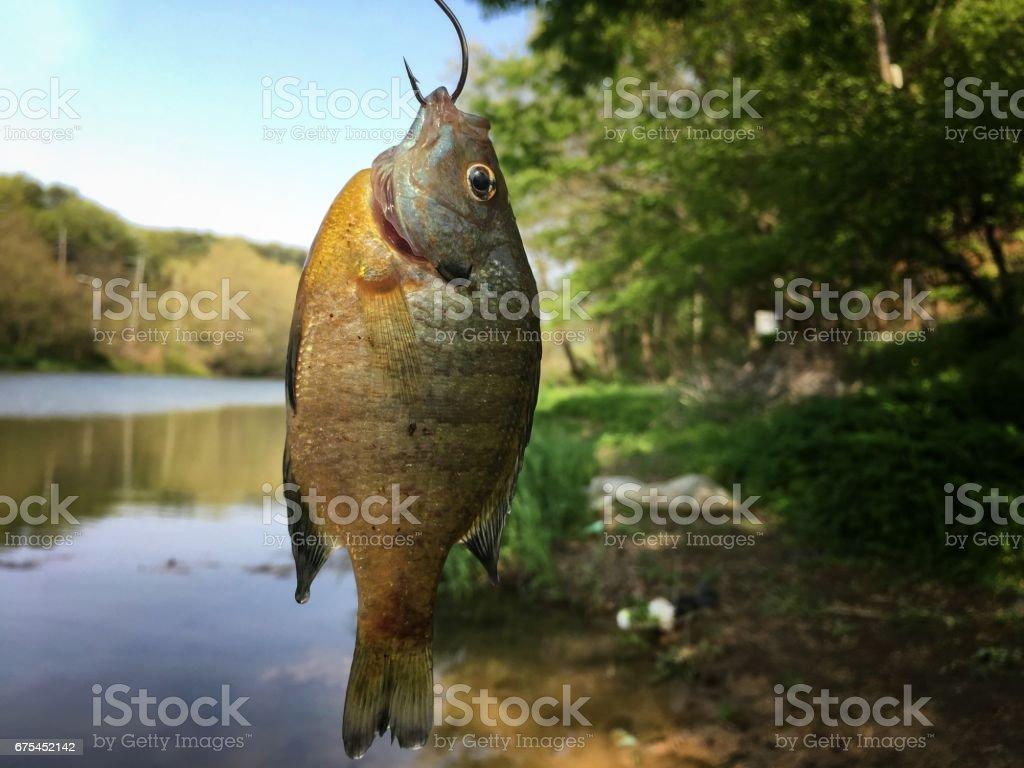 Mavi gil balık royalty-free stock photo