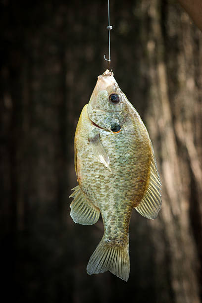 Blue gill bream fish with hook stock photo