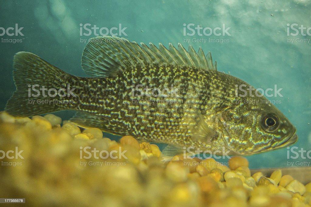 Blue Gill In Fishtank stock photo