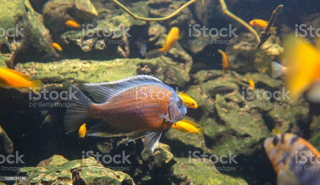 Blue girdled angelfish stock photo