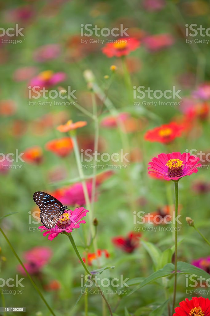 Blue Glassy Tiger butterfly on a wild flower. stock photo