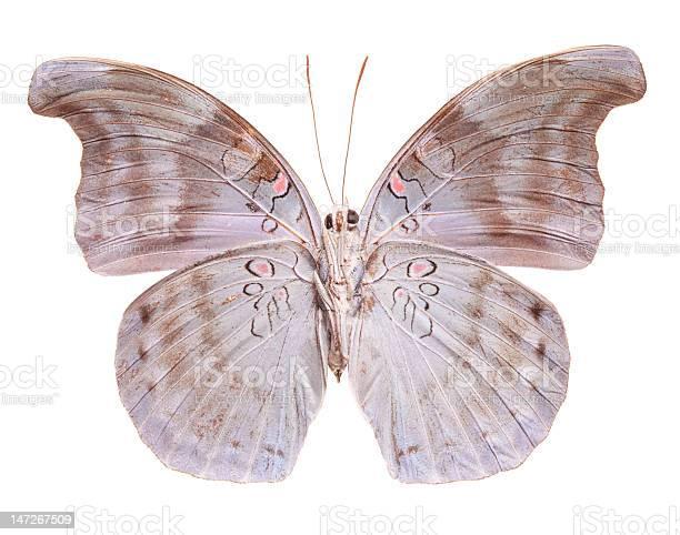 Blue glassy tiger butterfly picture id147267509?b=1&k=6&m=147267509&s=612x612&h=uhdr7xlzwczs racljosc 3xv wraispvdnqydlb9wk=