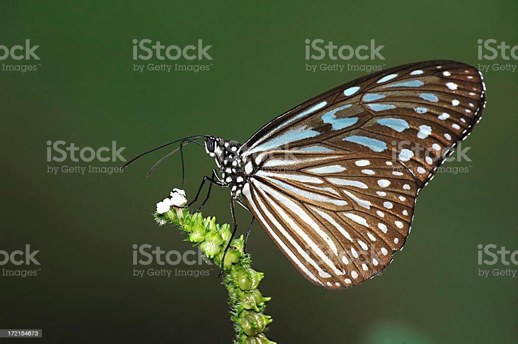 Blue Glassy Tiger (Ideopsis vulgaris) in Singapore stock photo