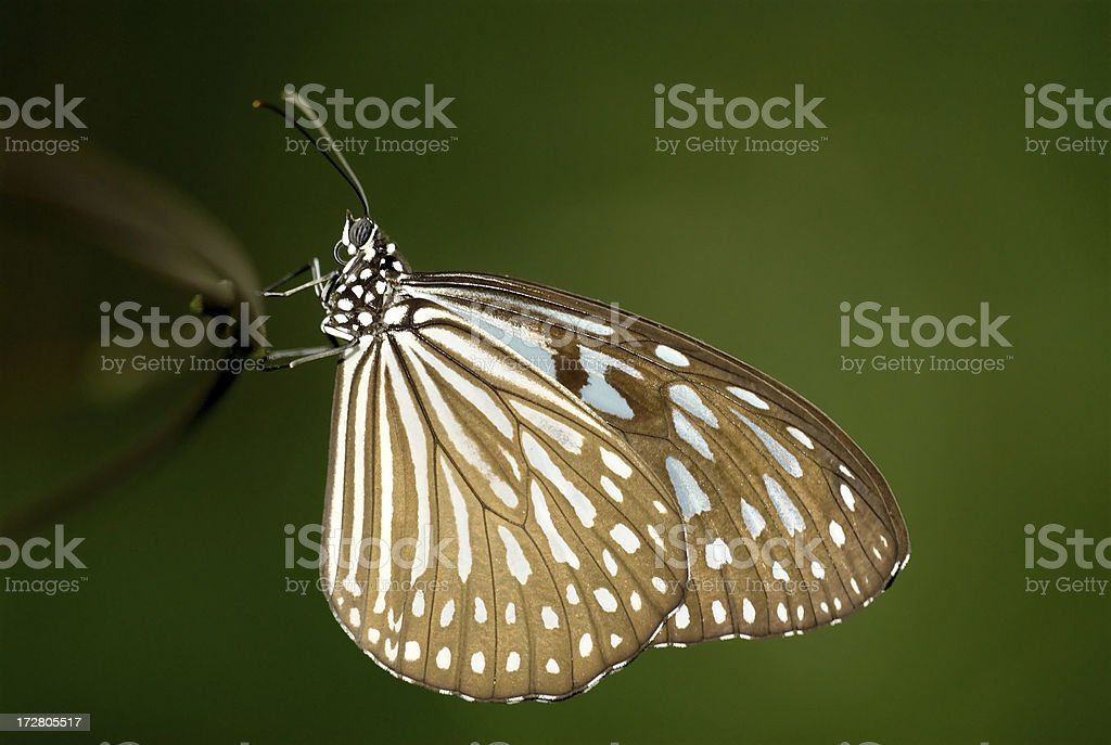 Blue Glassy Tiger (Ideopsis vulgaris) of Singapore royalty-free stock photo