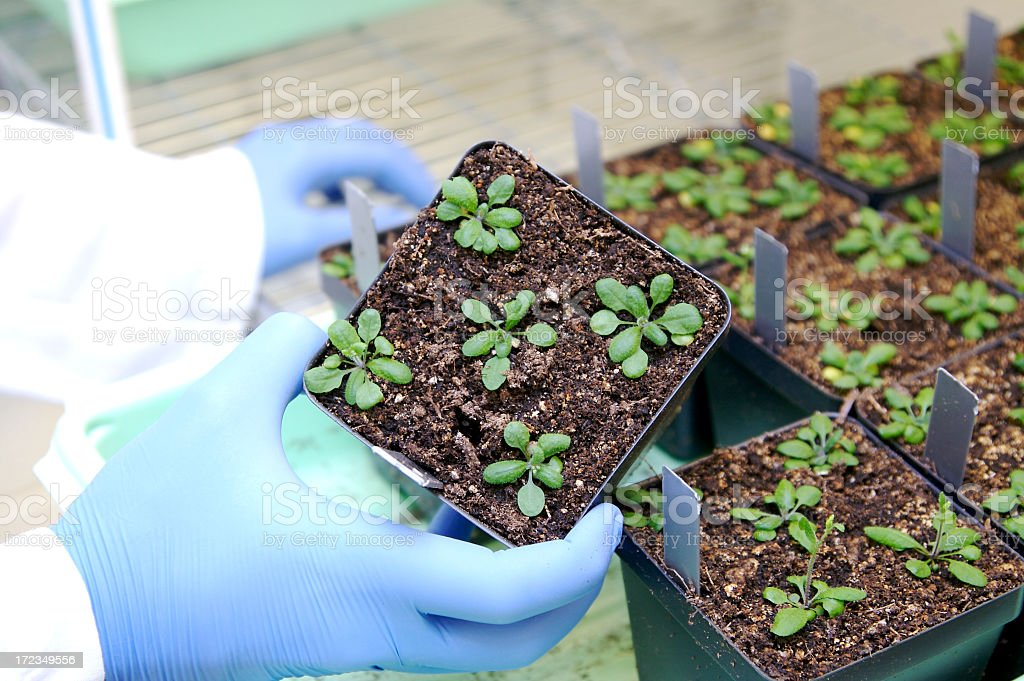 Genetisch veränderter Pflanzen – Foto