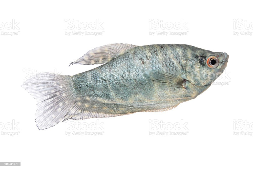 Blue Gourami aquarium fish isolated on white stock photo