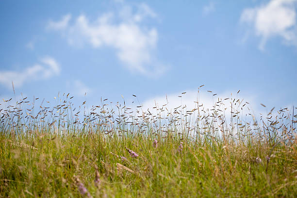 Blue Grama Grass with Sky stock photo