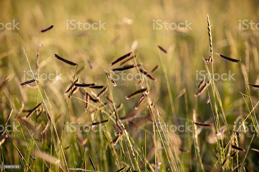 Blue Grama Grasses stock photo