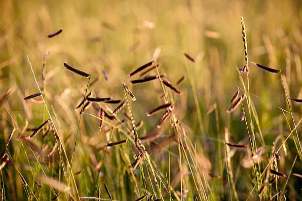 Blue Grama Grasses stock photo