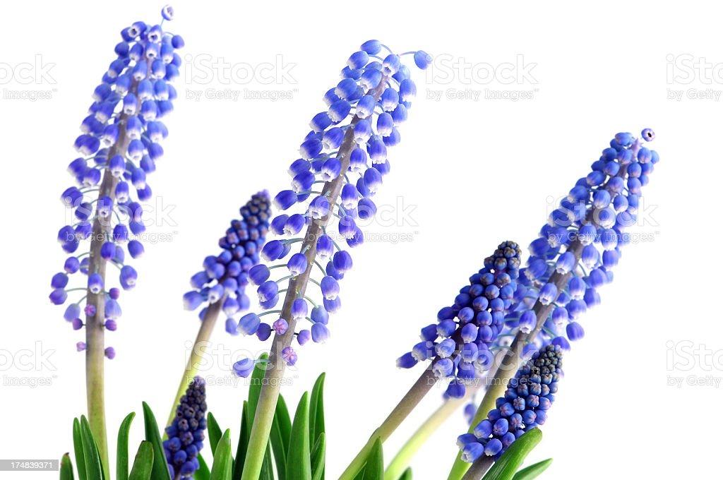 blue Grape Hyacinth at isolated white background stock photo