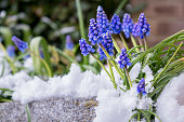 Blue grape hyacinth blooms in the spring surrounded by snow. Strong determined little flowers pushing though a layer of ice and snow that covers the stone-edged flower bed