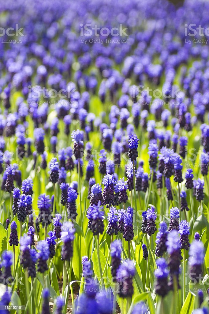 Blue Grape Hyacinth Meadow royalty-free stock photo