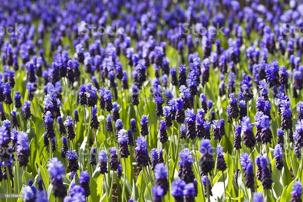 Blue Grape Hyacinth Meadow royalty-free stock photo
