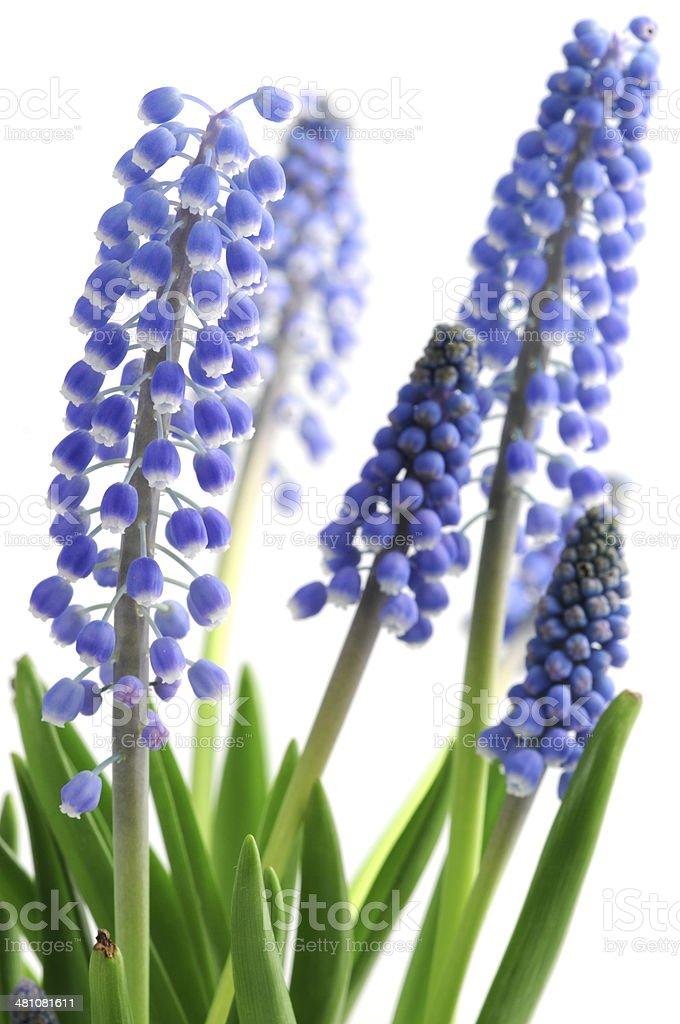 blue Grape Hyacinth stock photo