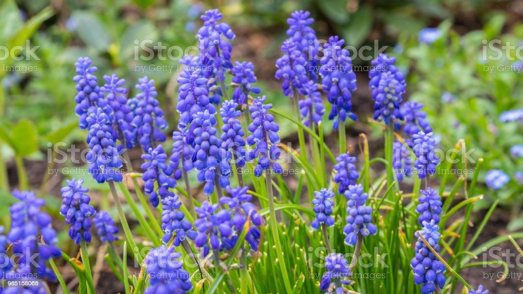 Blauwe druif hyacint foto