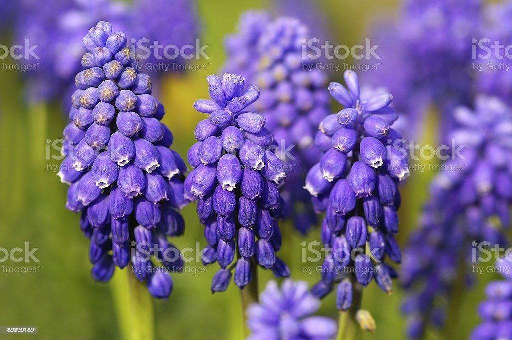 Uva azul hyacinths foto de stock libre de derechos