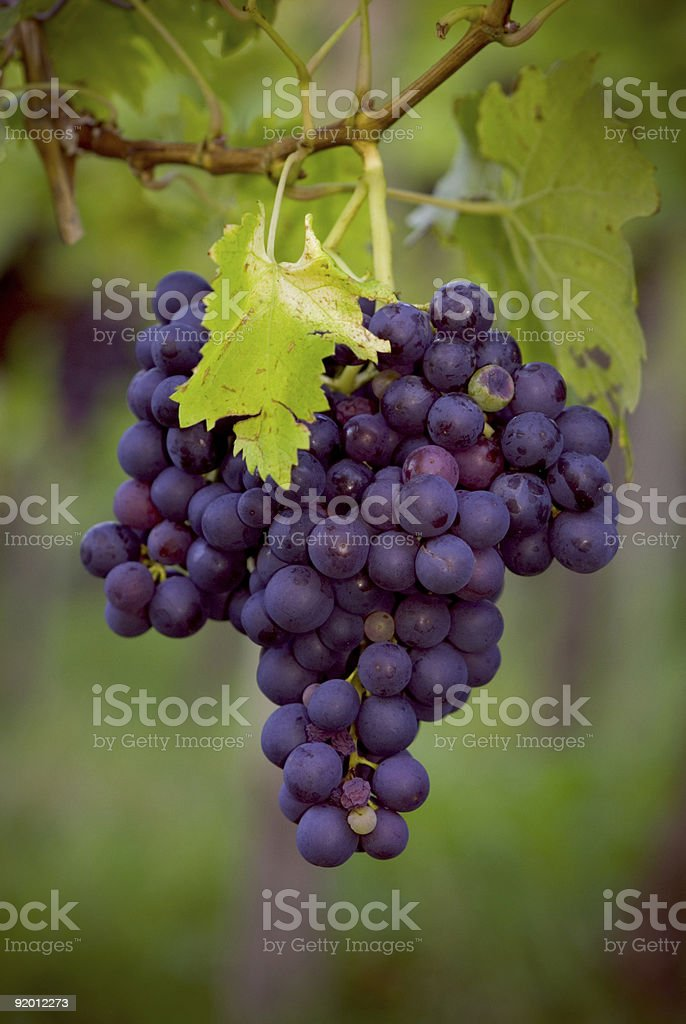 blue grape wine stock photo