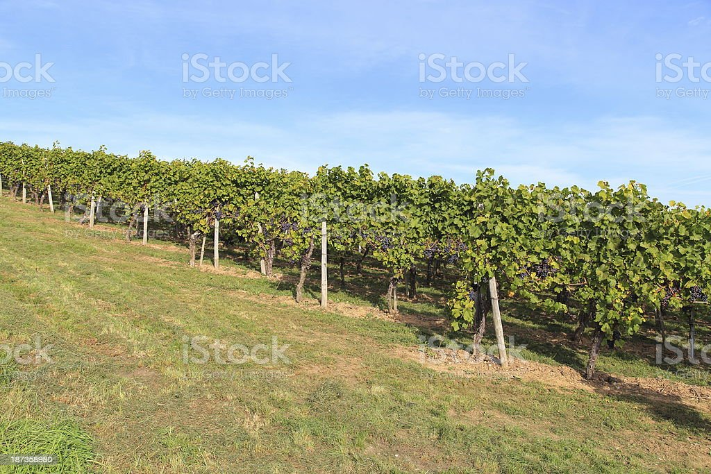 Blue grapes in the vineyard royalty-free stock photo