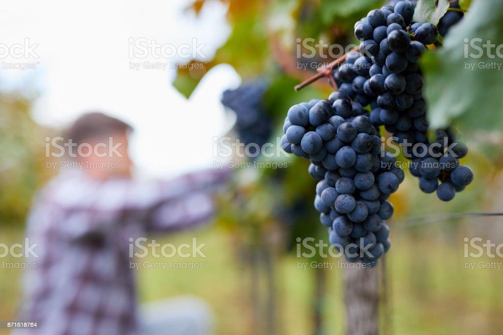 Blaue Trauben im Weinberg mit unscharfen Mann im Hintergrund – Foto