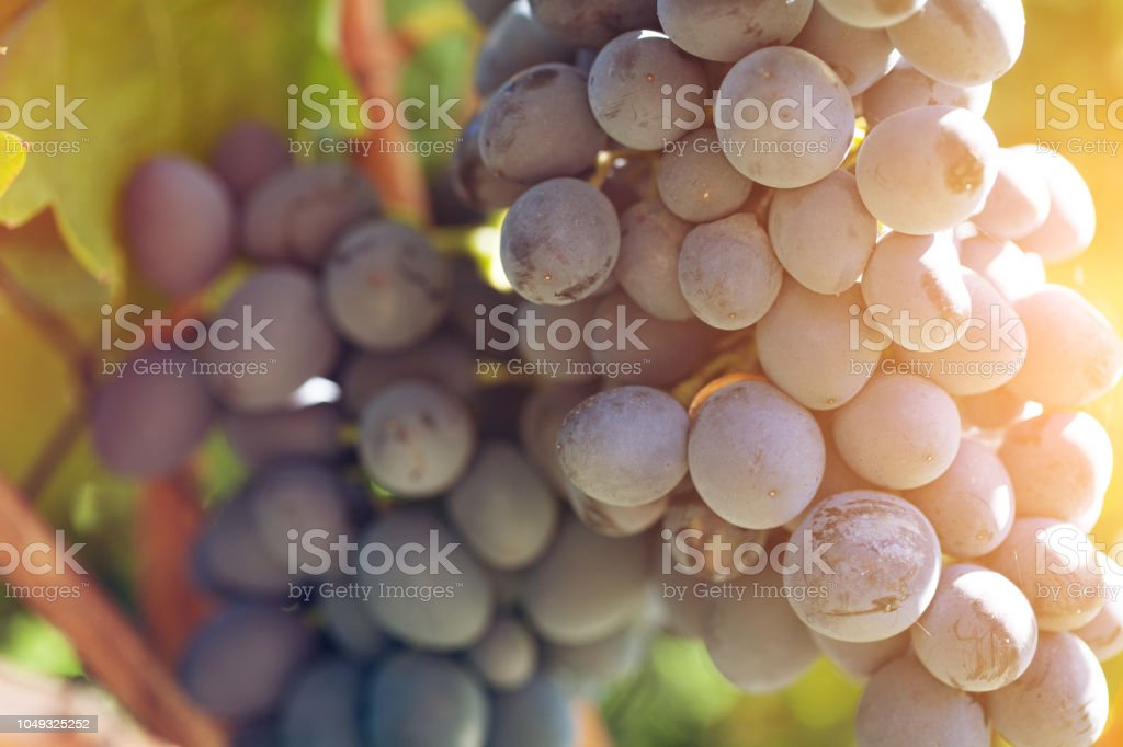 Blue grapes in vineyard at harvest time stock photo