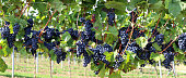 Blue grapes on vine, panoramic image