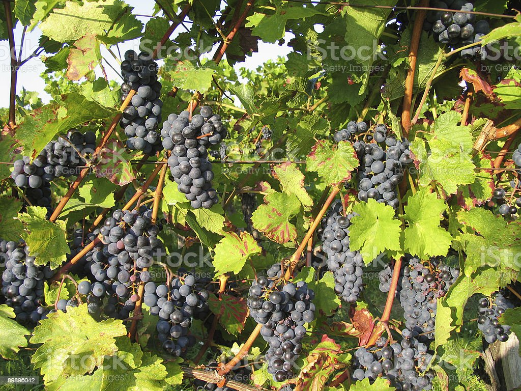blue grapes on vine royalty-free stock photo