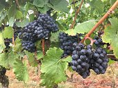 ripe blue grapes ready for harvest
