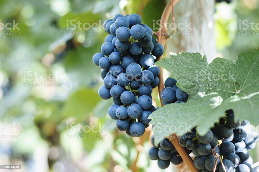 Blue grapes royalty-free stock photo