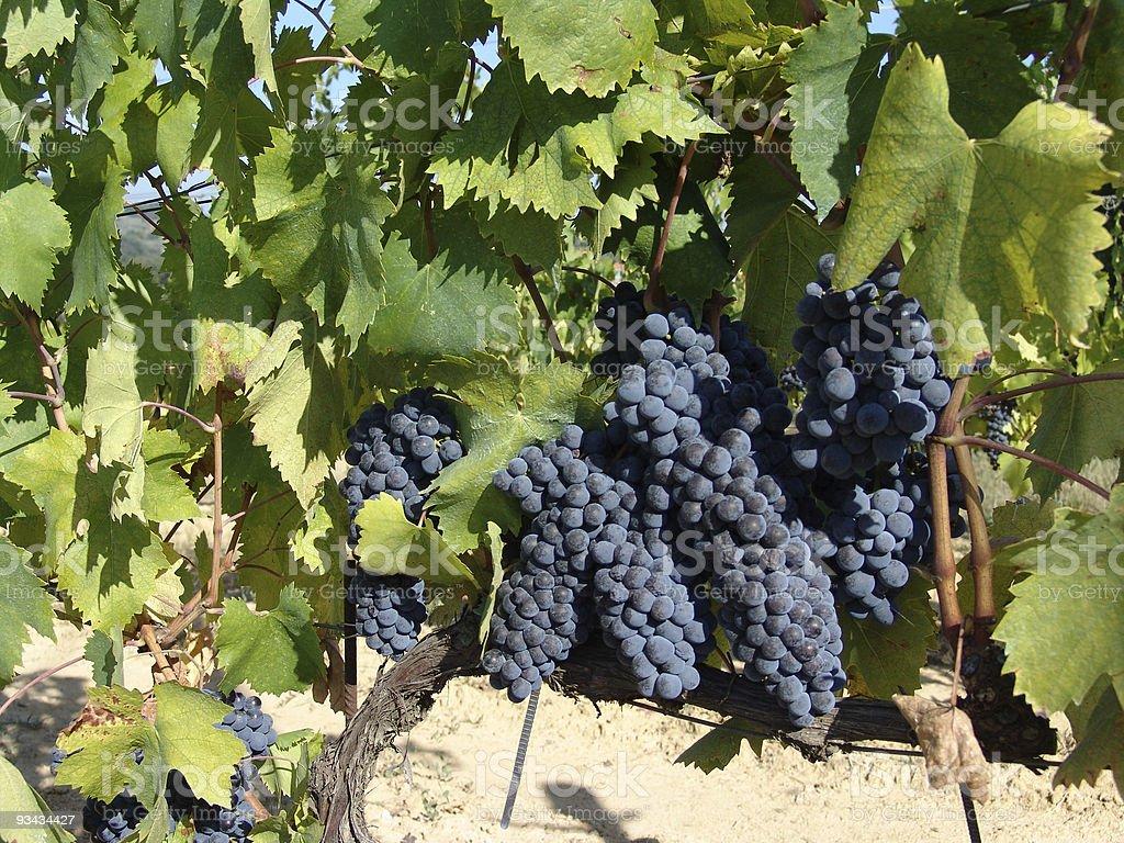 Blaue Weintrauben Lizenzfreies stock-foto