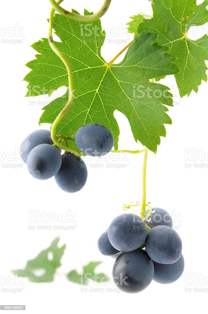 Blue grapes with green leaves stock photo