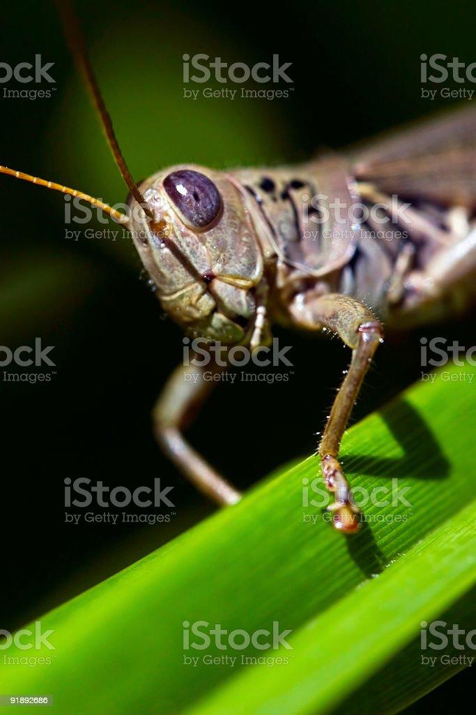 Blue Grasshopper royalty-free stock photo