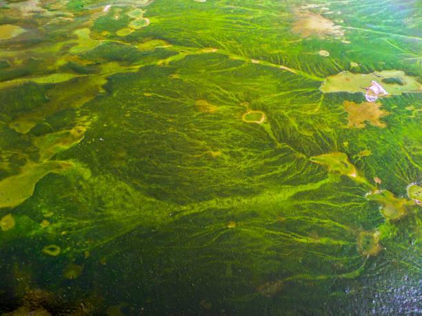 blue green algae cover sea surface near coast stock photo