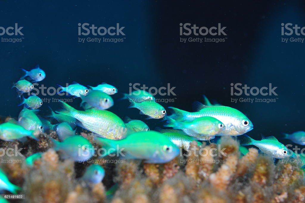 Blue green chromis foto stock royalty-free