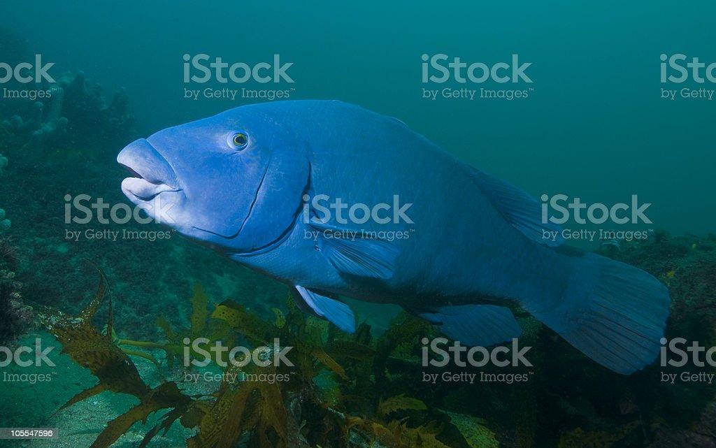 Blue Grouper royalty-free stock photo