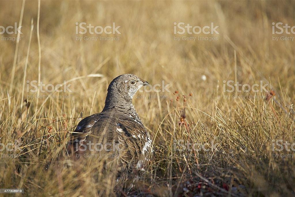 Blue grouse stock photo